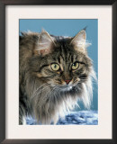 Head of Norwegian Forest Cat Posters by Petra Wegner
