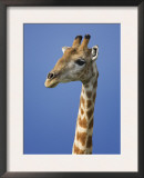 Giraffe, Male Portrait, Etosha National Park, Namibia Posters by Tony Heald