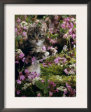 Domestic Cat, 8-Week, Tabby Among Red Campion and Hedge Parsley Prints by Jane Burton