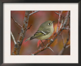 Ruby Crowned Kinglet, Adult in Black Hawthorn, Grand Teton National Park, Wyoming, USA Prints by Rolf Nussbaumer