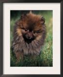 German Spitz (Klein) Puppy Portrait Prints by Adriano Bacchella
