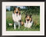 Two Collie Dogs Art by Petra Wegner