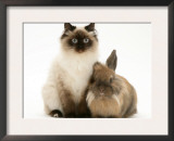 Young Birman-Cross Cat with Dwarf Lionhead Rabbit Art by Jane Burton