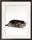 Domestic Cat, 2-Week Ticked-Tabby Kitten Prints by Jane Burton