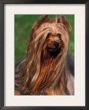 Yorkshire Terrier Portrait Poster by Adriano Bacchella