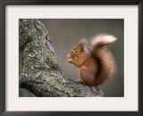 Red Squirrel, Angus, Scotland, UK Prints by Niall Benvie