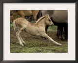 Mustang / Wild Horse Filly Stretching, Montana, USA Pryor Mountains Hma Poster by Carol Walker