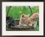 Domestic Kittens in Basket Prints by  Lucasseck