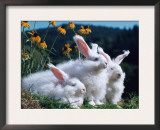 Domestic Angora Rabbits Print by  Reinhard