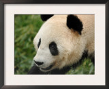 Giant Panda, Female Portrait Prints by Eric Baccega