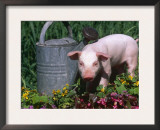 Domestic Piglet Beside Watering Can, USA Poster by Lynn M. Stone