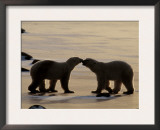 Polar Bears Sniffing / Greeting Each Other, Churchill, Canada Poster by Staffan Widstrand