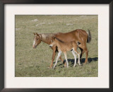 Sorrel Mare with Chestnut Filly, Pryor Mountains, Montana, USA Prints by Carol Walker
