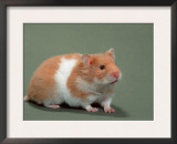 Golden Hamster Prints by De Meester