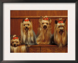 Domestic Dogs, Four Yorkshire Terriers Sitting / Lying Down Prints by Adriano Bacchella