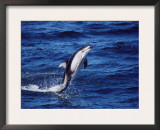 Pacific White Sided Dolphin Tail Walking, Monterey Bay USA Prints by Todd Pusser