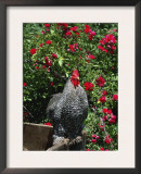 Domestic Chicken, Barred Rock Cochin Bantam Rooster, Iowa, USA Posters by Lynn M. Stone