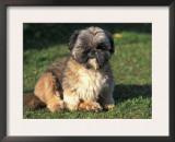 Shih Tzu Puppy Sitting on Grass Prints by Adriano Bacchella