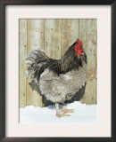 Blue Orpington Domestic Chicken, in Snow, USA Prints by Lynn M. Stone