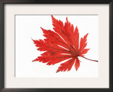 Japanese Maple Leaf in Autumn Colours Poster by Petra Wegner