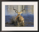 Black Faced Impala, Running Through Water, Namibia Art by Tony Heald