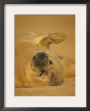 Grey Seal Pup Rolling on Sand, Lincolnshire, UK Prints by Niall Benvie