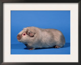 Lilac English Guinea Pig Posters by Petra Wegner