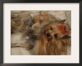 Yorkshire Terrier Lying on Its Back with Hair Tied up and Very Long Hair Art by Adriano Bacchella