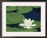 White Water Lily, Switzerland Posters by Rolf Nussbaumer
