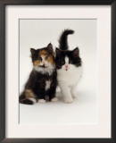 Domestic Cat, Tortoiseshell and Black-And-White Kittens Posters by Jane Burton