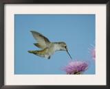 Anna's Hummingbird, Female at Thistle, Chiricahua Mountains, Arizona, USA Prints by Rolf Nussbaumer