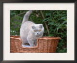 Scottish Fold Blue-Cream Cat Poster by De Meester