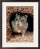 Dwarf Hamster Prints by Petra Wegner