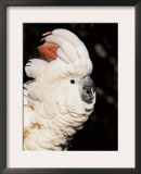 Salmon Crested Cockatoo Prints by Lynn M. Stone