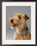 Welsh Terrier Posters by Petra Wegner