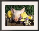 Mixed Breed Domestic Piglet, USA Posters by Lynn M. Stone