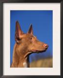 Pharoah Hound Profile Portrait Print by Adriano Bacchella
