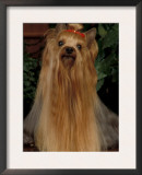 Yorkshire Terrier with Hair Tied up and Very Long Hair Prints by Adriano Bacchella