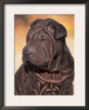 Black Shar Pei Puppy Portrait Showing Wrinkles on the Face and Chest Art by Adriano Bacchella