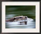 European River Otter Swimming, Otterpark Aqualutra, Leeuwarden, Netherlands Art by Niall Benvie