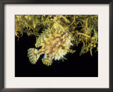 Sargassum Frogfish (Histrio Histrio) on Sargassum Seaweed off Cape Verde Islands, Atlantic Poster by David Shale
