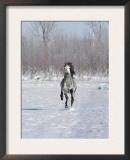 Grey Andalusian Stallion Cantering in Snow, Longmont, Colorado, USA Art by Carol Walker