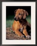 Rhodesian Ridgeback Puppy Print by Adriano Bacchella