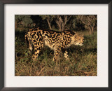 King Cheetah (Acinonyx Jubatus), De Wildt Game Park, South Africa Prints by Tony Heald