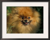 Pomeranian Portrait Posters by Adriano Bacchella
