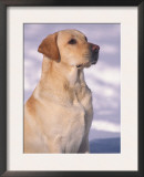 Labrador Retriever Portrait in Snow Posters by Adriano Bacchella