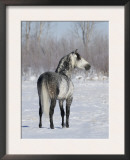 Rear View of Grey Andalusian Stallion Standing in Snow, Longmont, Colorado, USA Prints by Carol Walker