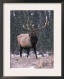 Elk Deer Stag in Snow, Jasper National Park, Canada Print by Lynn M. Stone