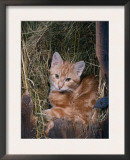 Domestic Cat, Ginger, Europe Prints by  Reinhard