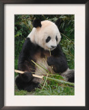 Giant Panda, Eating Bamboo Prints by Eric Baccega